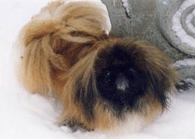 Иркутский Питомник Пекинесов Экс Магуай Мои собаки Суки.